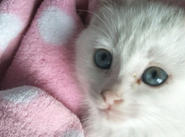 猫咪白血病的发生实际上是猫白血病病毒(felv)感染引起的,属于一种猫
