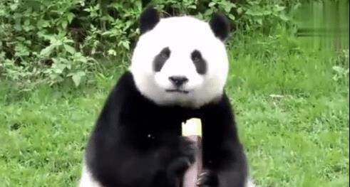 孔雀是一种非常高贵,骄傲的生物,身为国宝的大熊猫自然更吸引人一些