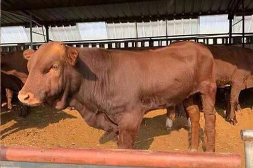 0/头  批发改良牛犊  想买好牛犊的请联系我