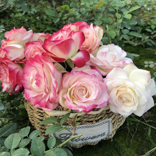 摩纳哥公爵月季花苗灌木抗病切花玫瑰花苗大花四季