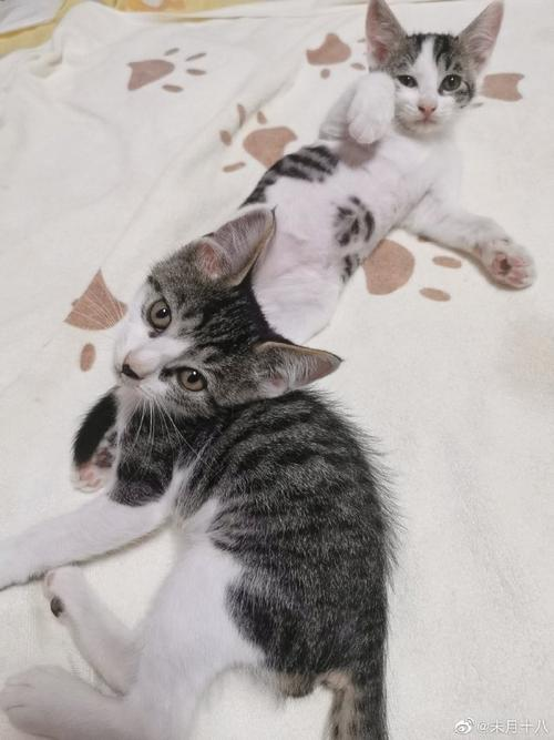 上海猫咪领养##猫咪##猫咪领养##领养代替购买##猫咪